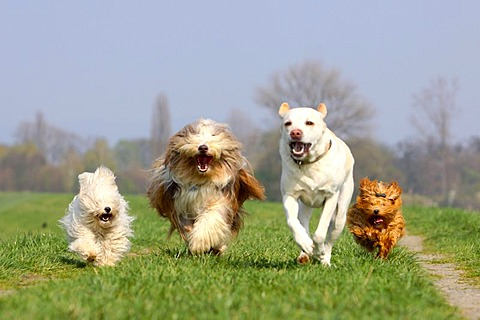 Haveneses, Bearded Collie and Labrador Retriever / Havanese, Bichon Havanais, Bichon Habanero