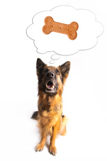 stock-photo-46275858-german-shepherd-dog-biscuit