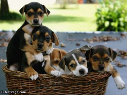 Basket_Of_Puppies